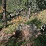 Beaver doesn't like skunko